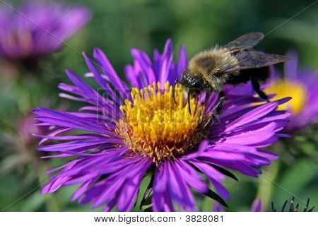Bumble Bee On A Purple Aster