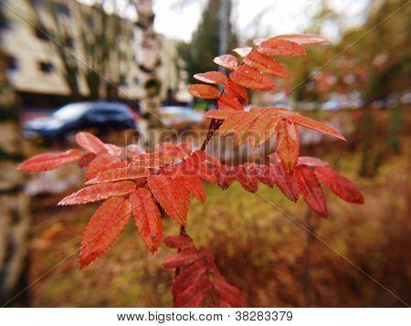 Closeup Of Ash-tree At Autumn, Red Leaves On Little Tree