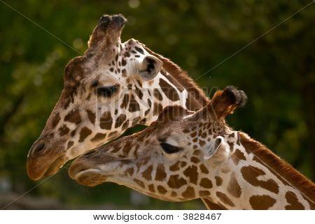 Couple Giraffes