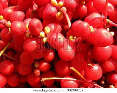 The harvest of red schizandra