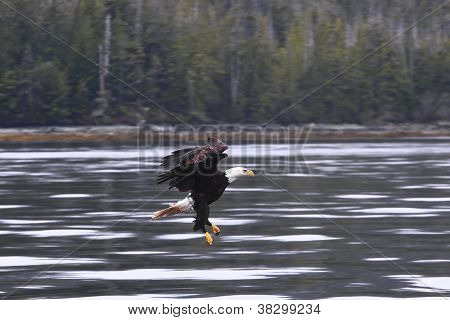 Eagle Soaring For Kill
