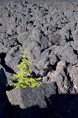 stock photo of mckenzie  - Vertical image of a lone conifer struggling to survive in a massive lava field in Oregon - JPG