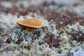 picture of bolete  - Bolete mushroom on ground with white lichen - JPG