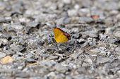 foto of brahma  - beautiful Golden Sapphire butterfly  - JPG