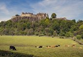 stock photo of braveheart  - Cows in Pasture at Stirling Castle in Scotland - JPG