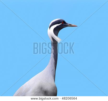 Demoiselle Crane against blue background