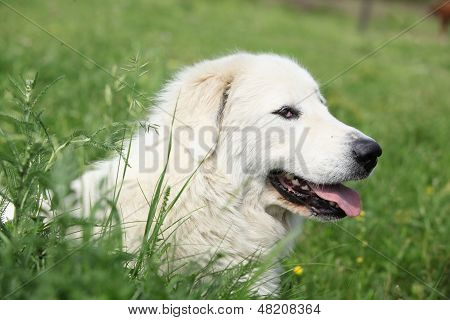 Pyrenean Mountain Dog Lying In The Grass