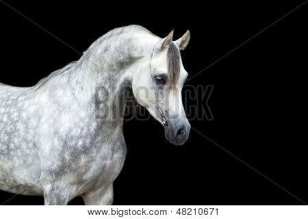 Arabian horse head isolated on black background.