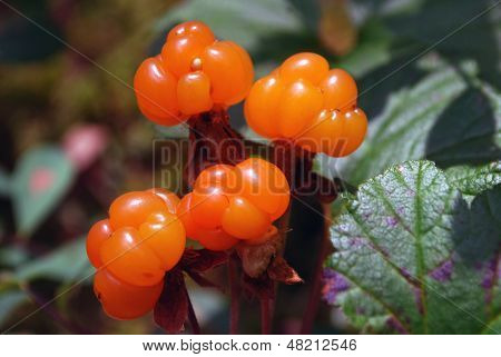Ripe berries cloudberry