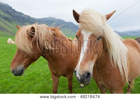 Two nice Icelandic horses with chestnut hair coat walking in a icelandic summer  countryside.
