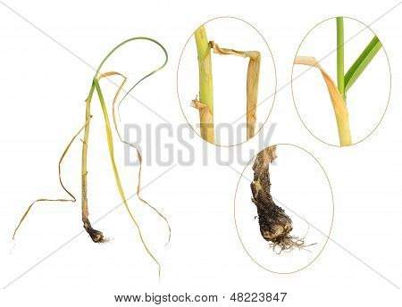 Infection of garlic by white rot, Sclerotium cepivorum