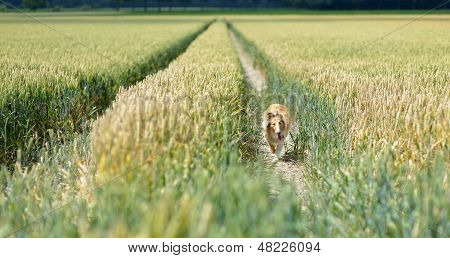 Collie In Wheat Field