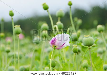 Field of opium poppies, Poland