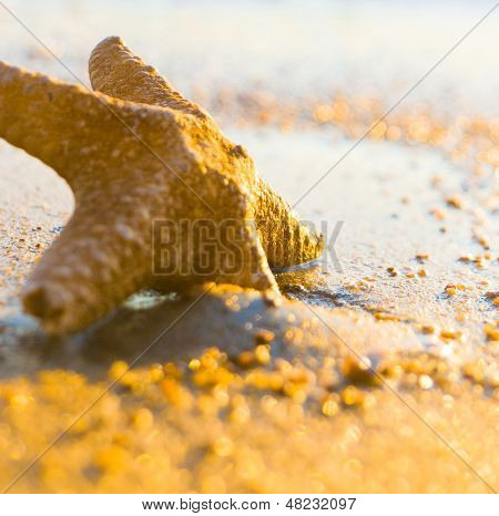 Sea Starlet Fallen Morning Star