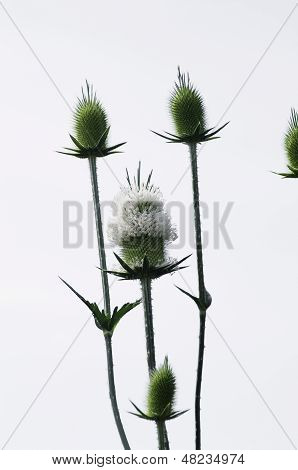 Green Teasel, Mature Head Going To Seed Isolated On White.