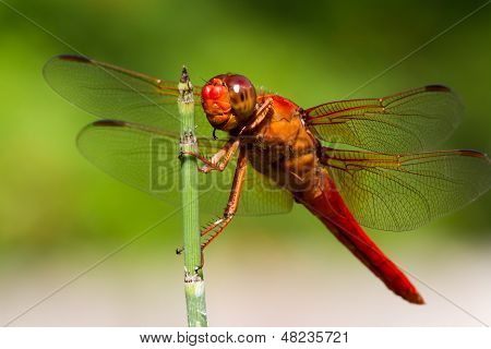 Closeup of Red Skimmer or Firecracker Dragonfly.