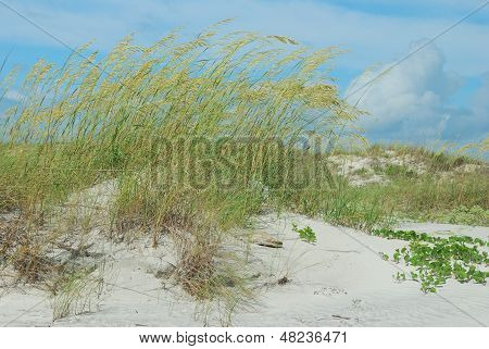 Windswept sea oats