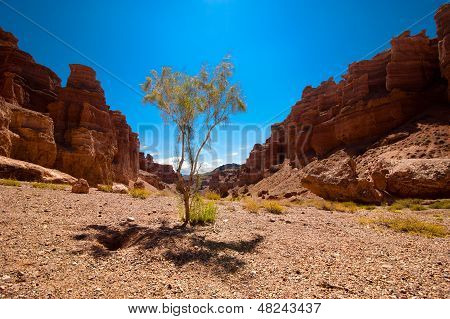 Desert Plant Shrub Saxaul (haloxylon) Growing Among Rock Formations At Charyn Canyon Under Blue Sky