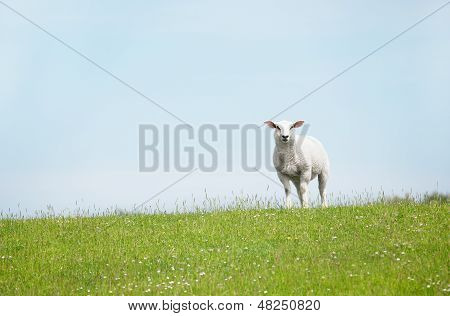 White Sheep Standing On Seawall Looking
