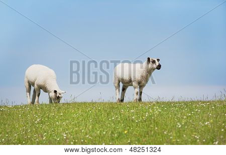 Sheep standing on a seawall