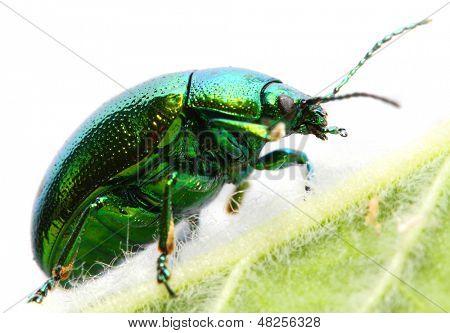 The Mint beetle (Chrysomela coerulans) is dangerous pest in herbal garden.