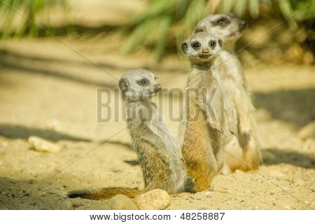 Group Of Three Cute Meerkats