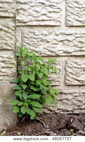 Weed Growing Out Of Wall
