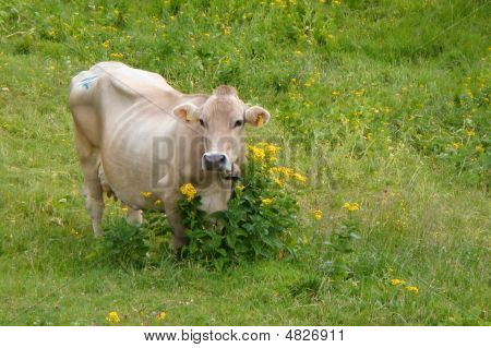 Alpine Cow In The Flower Bed