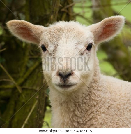 Lamb Portrait