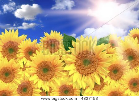 Stock photo : Bright Yellow Sunflowers On A Beautiful Sunny Day