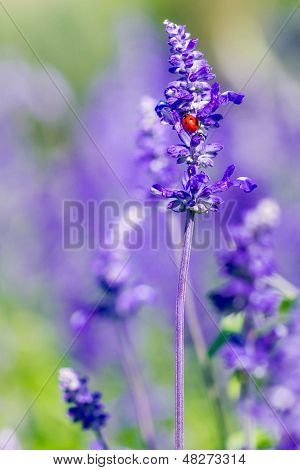 Red Ladybird On Beautiful Purple And Violet Lavender
