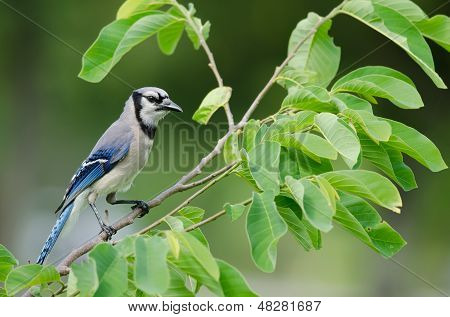 Blauhäher (Cyanocitta Cristata)