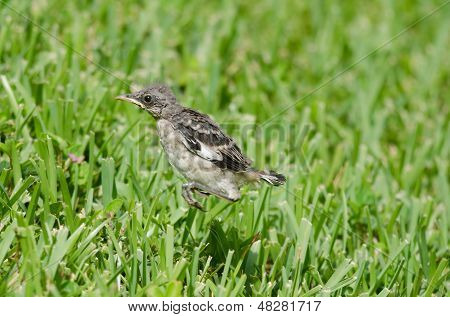 Hopping Mockingbird