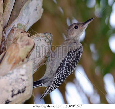 Immature Red-bellied Woodpecker
