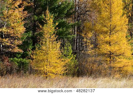 Yellow Tamaracks In Autumn