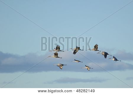 A Group Of Sandhill Cranes In Flight