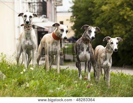 dog breeds whippet, greyhound hunting dog