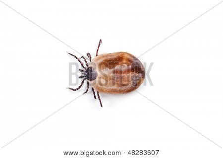 Tick, isolated on white background