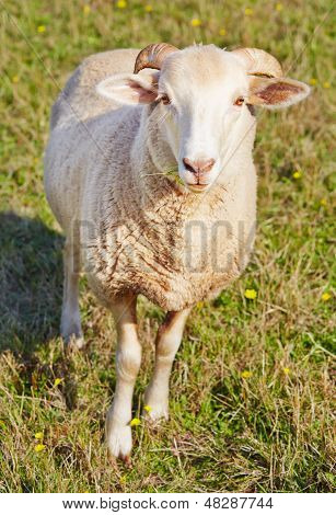 Young Ram Munching On Grass