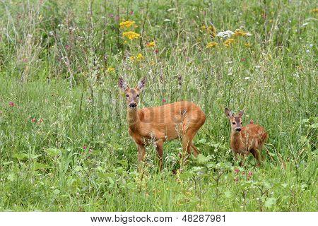 Deer Doe And Her Baby