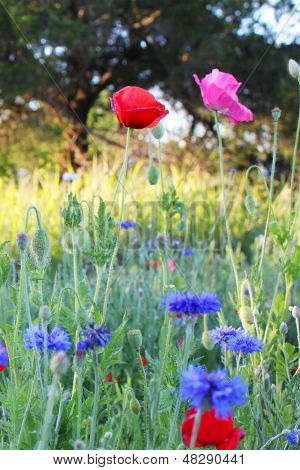 Wild flowers, including poppies and bachelor's buttons