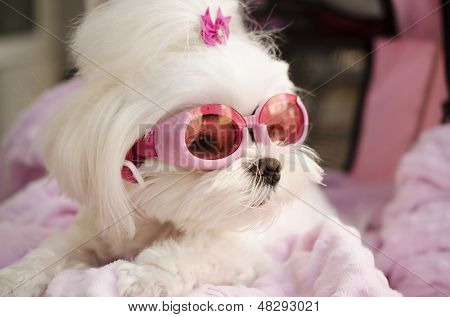 Fashionable trendy Maltese dog wearing pink goggles