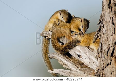 Esquilos africanos