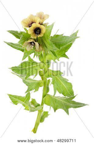 Medicinal plant: Black henbane