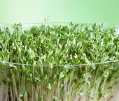 Closeup of green garden cress sprouts for a healthy diet