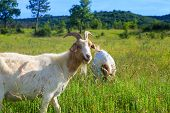 picture of headstrong  - Two Goats grazing in the green countryside - JPG