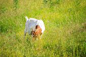 image of headstrong  - view of Goat grazing in the green countryside - JPG