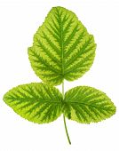 Iron deficiency in raspberry leaf chlorosis isolated