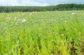 stock photo of opium  - Field of opium poppies - JPG