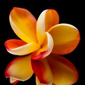 stock photo of frangipani  - red and yellow frangipani flower on black mirror - JPG